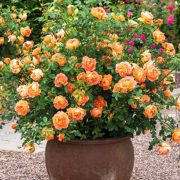 Rose (True-Orange) Plant-1
