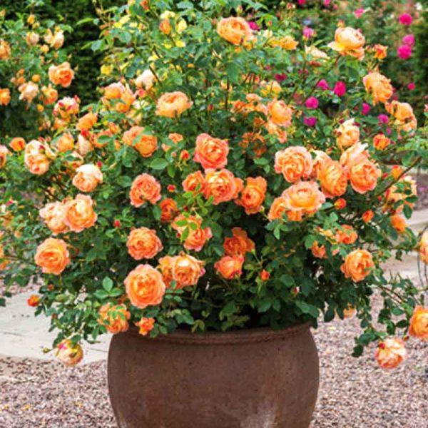 Rose-(True-Orange)–Plant-1