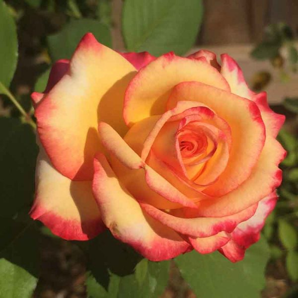Rose-(True-Orange)–Plant-2