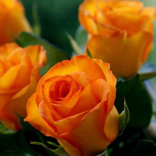 Rose-(True-Orange)–Plant-3