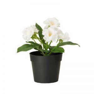 Rose (White) Plant-1