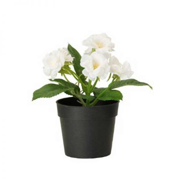 Rose-(White)—Plant-1