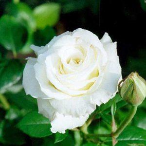 Rose (White) Plant-2