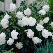 Rose-(White)—Plant-3