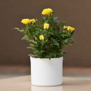Rose (Yellow) Plant-1