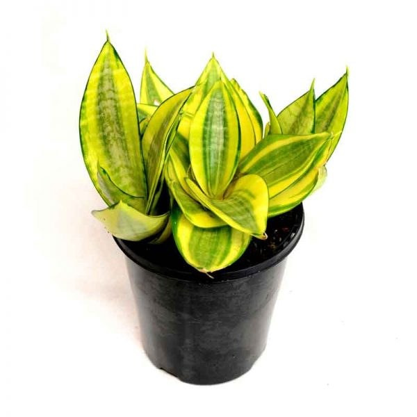 Sansevieria-Trifasciata-Golden-Hahnii,-Snake-Plant-1