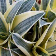 Sansevieria-Trifasciata-Golden-Hahnii,-Snake-Plant-3