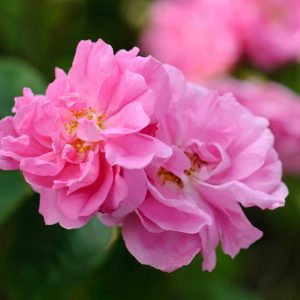 Scented-rose-1