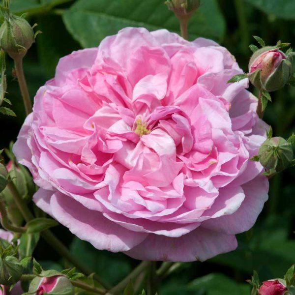 Scented-rose-2
