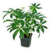 Schefflera Plant-1