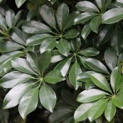 Schefflera—Plant-2