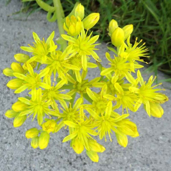 Sedum-Angelina–Plant-1