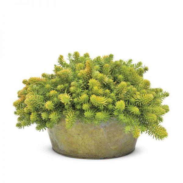Sedum-Angelina–Plant-2