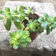 Sedum-Confusum–Plant-1