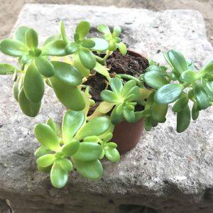 Sedum-Confusum Plant-1