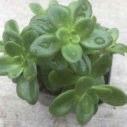 Sedum-Confusum–Plant-2