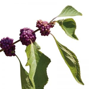 Shahtoot, Mulberry, Tuti-(Small-Leaves) Plant-1