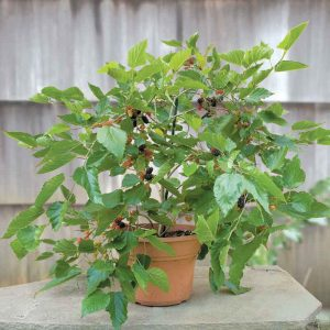 Shahtoot, Mulberry, Tuti-(Small-Leaves) Plant-3