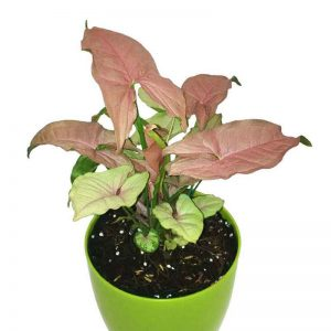 Syngonium ( Pink ) Plant-1