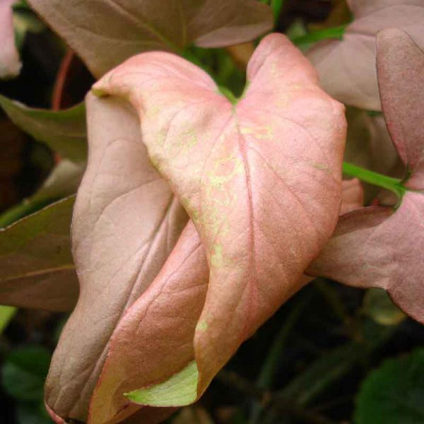 Syngonium-(-Pink-)—Plant-2