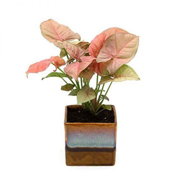 Syngonium-(-Pink-)—Plant-3
