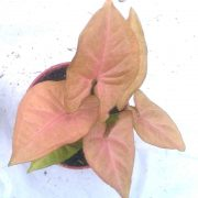Syngonium-(-Pink-)—Plant-4