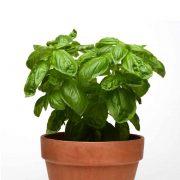 Thai-basil Plant-1