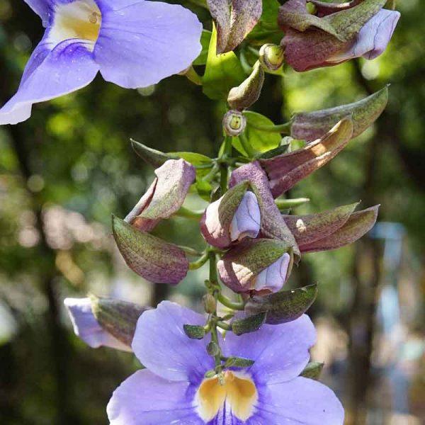 Thunbergia-Laurifolia—Plant-2