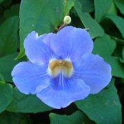 Thunbergia-Laurifolia Plant-3