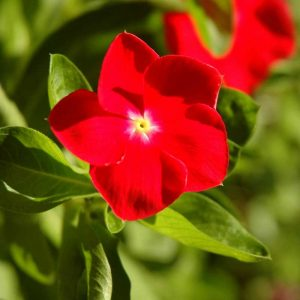 Vinca-(Red) Plant-1