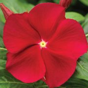 Vinca-(Red)—Plant-2