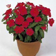 Vinca-(Red)—Plant-3