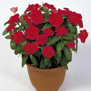 Vinca (Red) Plant-3