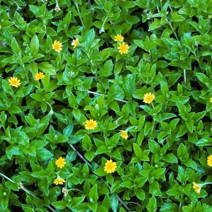 Wedelia, Sphagneticola-Trilobata Plant-1