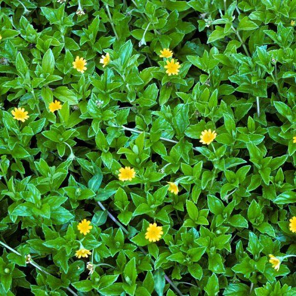 Wedelia,-Sphagneticola-Trilobata—Plant-1