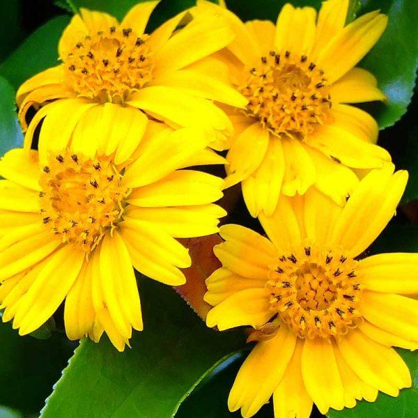 Wedelia,-Sphagneticola-Trilobata—Plant-2