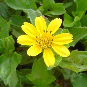 Wedelia, Sphagneticola-Trilobata Plant-3