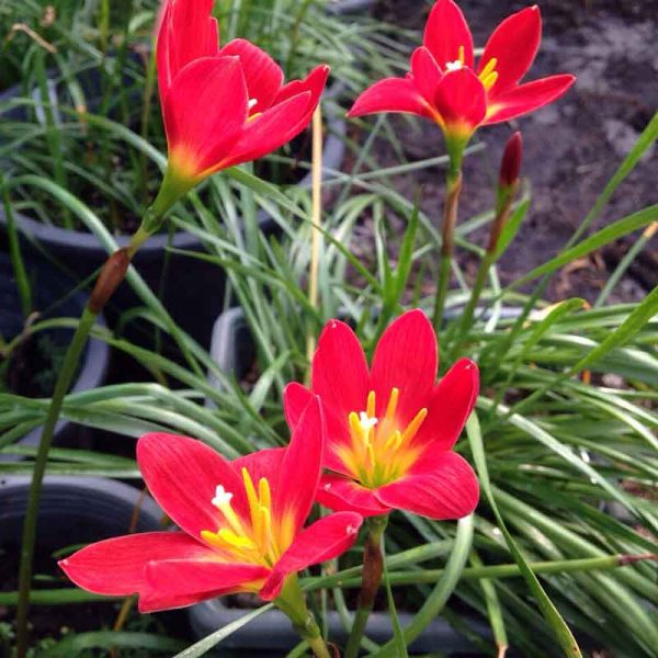 Zephyranthes-Jacala-Red,-Rain-Lily-Jacala-Red-1