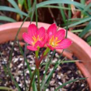 Zephyranthes-Jacala-Red,-Rain-Lily-Jacala-Red-2