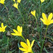 Zephyranthes,-Rain-Lily-(Yellow)-1