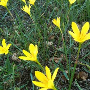Zephyranthes, Rain-Lily (Yellow) 1