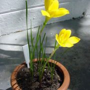 Zephyranthes, Rain-Lily (Yellow) 2