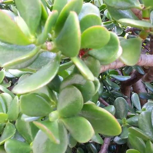 jade plant-2