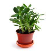 jade plant small