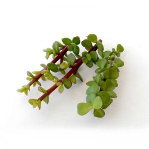 jade-plant,elephant-bush-1