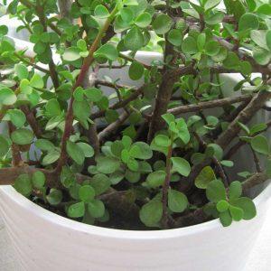 jade-plant,elephant-bush-2