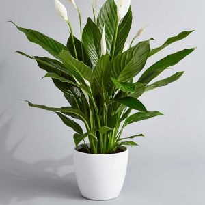 lilplants-peace-lily