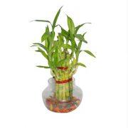 lucky bamboo-2
