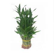 lucky bamboo-3