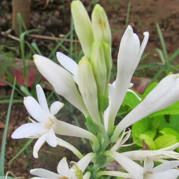 polianthes-tuberosa-1